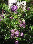 Veilchenbleu rambler in our south garden -May 2010