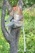 Proboscis Monkey @ Labuk Bay