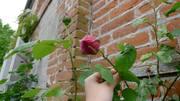 Lisieux, casa de Teresita siguen floreando las Rosas