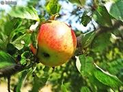 სამოთხის ვაშლი