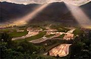 მწვანე ბრინჯის ველები