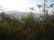 მთის კეკლუცები