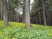 გულყვითელა ტყე