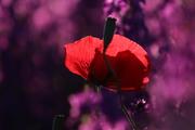 წითელი და იისფერი