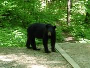Cosby Campsite Bear