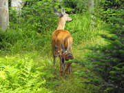 Mom and Fawn on LeConte