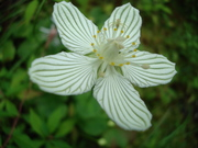 Grass of Parnassus....and guest!