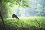 Deer in Cade's Cove