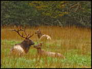 Elk at REst