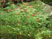 flowers along Cosby Creek - sept 09