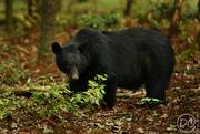 Huge Bear.