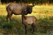 Elk cow with her calf