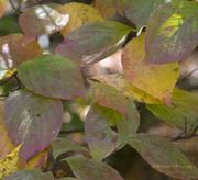 Tremont Leaves