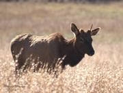 Young Elk in Cataloochee Valley