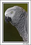 Einsten, African Gray parrot
