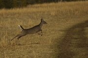 One Deer a Leaping