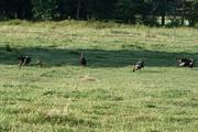 turkeys a1
