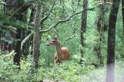 deer a1