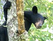 Bear in Cherry Tree2