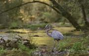 Blue Heron fishing in Abrams Creek