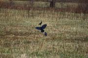 Crow 1a