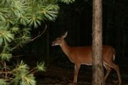 Hidden Deer 1a