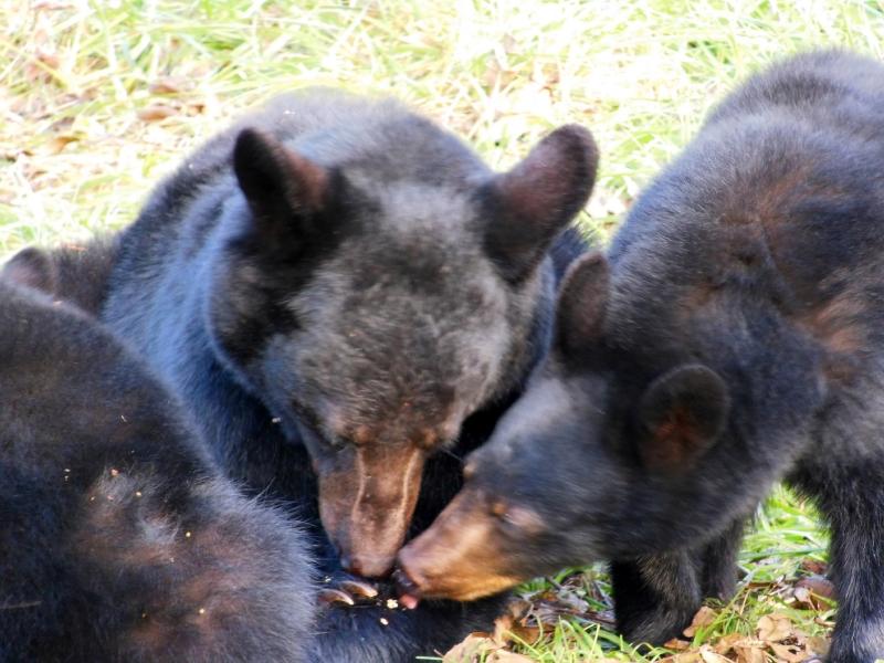 Black Bears 1_1