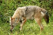 GSMNP Coyote