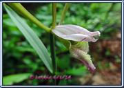 Rosebud Orchid