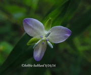 Murdannia Keisak/ Marsh Dewflower