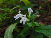 White Lobelia