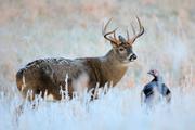 Big Buck in Frost
