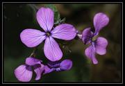 Money Plant Flower