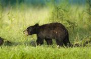 Bear Cub 4032