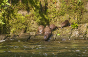 Otters at Abrams Falls