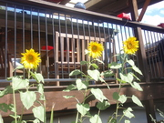 Sun flowers in front of my deck