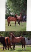 Pavon and Azteca brother as yearlings