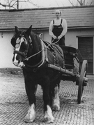 Boxer, Shire, in tipping cart