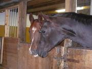 Krystal and Big A (quarter horse)