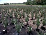 Cadena Nacional Agro industrial de la Sabila en Colombia