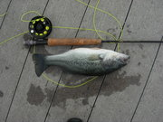 caught on olive and tan bait fish jig