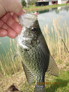 Lonely Crappie