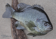 4lb. 7oz. Male Redear Sunfish Replica