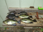 hernando lake bluegills (1)