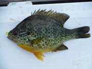 """nearly 8"""" pumpkinseed from one of my favorite lakes"""