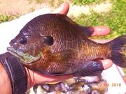 TABBERT GREEN DRAGON FLY NYMPH FISH
