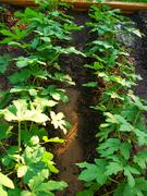 Okra Plants - '09