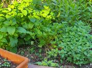 The Herb Garden....