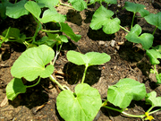 Cantaloupe Plant - '09