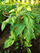 Hybrid Tomato Plant - '09
